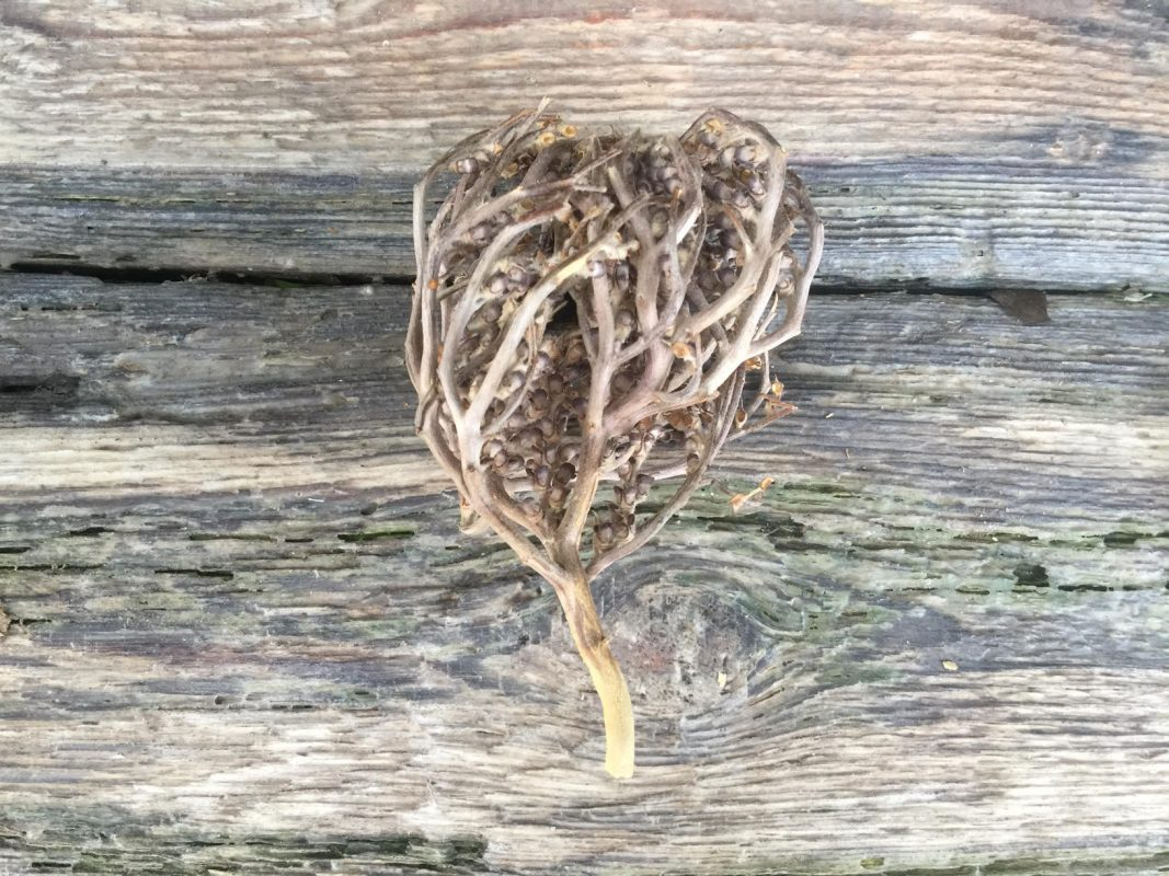 The real Rose of Jericho - The resurrection plant